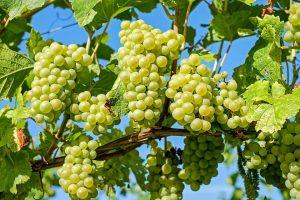 Tudnivalók a szőlőmag kivonatról és szőlőmag rendelés